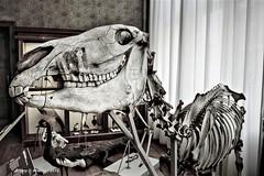 Universiteitsmuseum,B&W,Groningen stad,the Netherlands,Europe. (Aheroy) Tags: groningen aheroy aheroyal universiteitsmuseum bw skelet skeleton monochrome blackwhite bianconero blackandwhite schwarzweiss 黑白 noiretblanc γραπτόσ inbiancoenero 흑백 zwartwit pretoebranco светотенево blancoynegro zw groningenstad museum smile gebit teeth