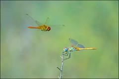 Libellule (adrianaaprati) Tags: caffarella libellule dragonfly september macro wings flight flying