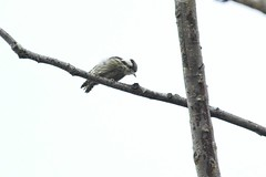 Grey-capped Pygmy Woodpecker (christopheradler) Tags: thailand greycapped pygmy woodpecker picoides canicapillus yungipicus