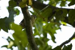 Grey-eyed Bulbul (christopheradler) Tags: thailand greyeyed bulbul iole propinqua