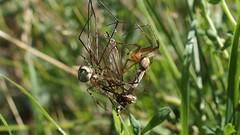 Spiders and Cranefly (Nick:Wood) Tags: spider cranefly web orbweaver cuttlepoolnaturereserve warwickshirewildlifetrust templebalsall wildlife nature