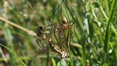Spiders and Cranefly (Nick:Wood) Tags: spider cranefly orbweaver web cuttlepoolnaturereserve warwickshirewildlifetrust templebalsall wildlife nature