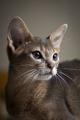 Winton 1 (peter_hasselbom) Tags: cat cats kitten kittens abyssinian blue 4mothsold flash 1flash 105mm vignette