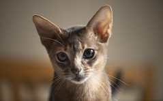 Winton 2 (peter_hasselbom) Tags: cat cats kitten kittens abyssinian blue 4mothsold flash 1flash 105mm