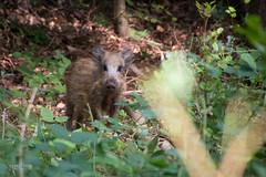 Ostsee (!Koss) Tags: rot wildschwein frischling