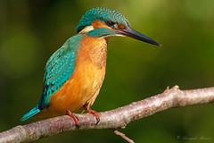 _ARC1109 L'attento osservatore (rubacolor) Tags: alcedo atthis martin pescatore uccelli birds acqua natura
