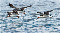 (c)WMH_2019_09_15 Black Skimmers in Flight (WesleyHowie) Tags: birds blackskimmer canada dartmouth location mccormacksbeachprovincialpark novascotia provincialpark skimmer wildlife