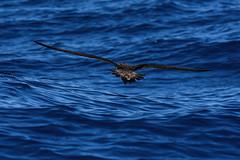 Sturmtaucher, shearwater_05 (Udo Berner) Tags: sturmtaucher shearwater birds vogel vögel nature wildlife outdoor