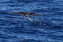 Sturmtaucher, shearwater_03 (Udo Berner) Tags: sturmtaucher shearwater birds vogel vögel nature wildlife outdoor