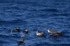 Sturmtaucher, shearwater_02 (Udo Berner) Tags: sturmtaucher shearwater birds vogel vögel nature wildlife outdoor
