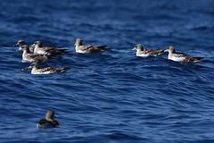 Sturmtaucher, shearwater (Udo Berner) Tags: sturmtaucher shearwater birds vogel vögel nature wildlife outdoor