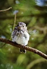 Young spotted flycatcher (Jaedde & Sis) Tags: gråfluesnapper juvenil spotted flycatcher muscicapastriata perched