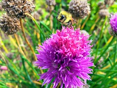 HMM (Mr. Happy Face - Peace :)) Tags: macromondays bee pink flower chive autumn fall macro theme closeup postcard kitchenart2019