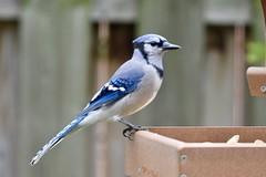Blue Jay (Linda Ramsey) Tags: nature backyard ontario september bird blue bluejay