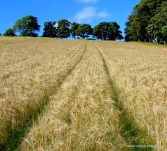 tracks (patrickcolhoun) Tags: field nature landscape farm buncrana donegal ireland countydonegal trees ulster
