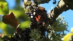 Red Admiral (Nick:Wood) Tags: redadmiral vanessaatalanta elmdonmanornaturereserve warwickshirewildlifetrust solihull tree lichen