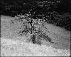 an old apple tree (yury shulhevich) Tags: appletree odenwald summer treeonthehill oldtree hike forestride blackandwhite analoguephotography filmistheway filmcamera monochrome cropofreality mediumformat negativefilm lines dof foma100 rodinal doityourself selfdeveloped bw pentax67ii 200mm 6x7 coolscan8000 germany ys2019 landscape