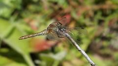 Ruddy Darter (Nick:Wood) Tags: ruddydarter sympetrumsanguineum cuttlepoolnaturereserve warwickshirewildlifetrust templebalsall dragonfly wildlife nature