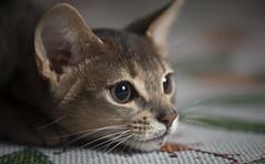Winton 3 (peter_hasselbom) Tags: cat cats kitten kittens abyssinian blue 4mothsold flash 1flash 105mm