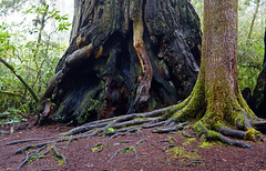 Lady Bird Johnson Grove, Redwood Natonal Park, CA (SomePhotosTakenByMe) Tags: baum tree ladybirdjohnsongrove hike trail wanderung california usa america amerika unitedstates outdoor redwoodnationalpark nationalpark redwood roots wurzeln flora plant pflanze natur nature