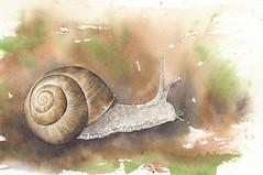 chiocciola (-valarian-) Tags: acquerello watercolour valarcolour animali chiocciola