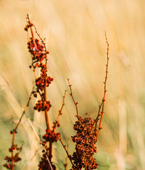 The edge of Autumn , standing red (Through Bri`s Lens) Tags: sussex sompting autumncolour grass red yellow brianspicer canon5dmk3 can