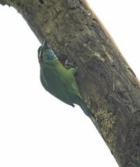Blue-eared Barbet (christopheradler) Tags: thailand blueeared barbet psilopogon cyanotis