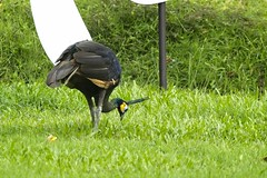 Green Peafowl (domesticated) (christopheradler) Tags: thailand green peafowl pavo muticus
