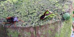 Shieldbugs, Kingmoor Nature Reserve, 16 September 19 (gillean55) Tags: canon powershot sx60 hs superzoom bridge camera north cumbria kingmoor sidings nature reserve carlisle nnr hemiptera shieldbugs