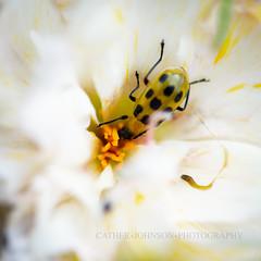 IMG_2370-1-2 (ljohn50014) Tags: 2019 bees borage flowers garden