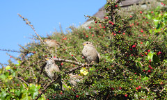 Corfe RSPB (Adam Swaine) Tags: sparrows rspb birds englishbirds gardenbirds britishbirds naturelovers nature bird england english dorset corfecastle uk ukcounties animals britain beautiful canon adamswaine 2019 flora