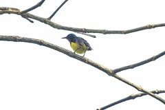 Ruby-cheeked Sunbird (male) (christopheradler) Tags: thailand rubycheeked sunbird chalcoparia singalensis
