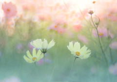 3 autumns (Tomo M) Tags: yellowcampus cosmos flower nature ひたち海浜公園 autumn 3 bokeh soft