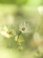 my favorite (Tomo M) Tags: yellowcampus flower cosmos nature ひたち海浜公園 soft pastel dreamy bokeh