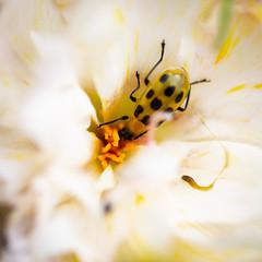 IMG_2370-1 (ljohn50014) Tags: 2019 bees borage flowers garden