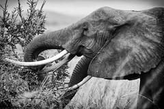 2 trunks,2 pairs of tusks (tsd17) Tags: mono canon africa elephant amboseli kenya wildlife