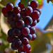 Red Grapes in the Sun