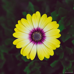 (spastman1) Tags: flower flowers outside nature summer summertime macro closeup nx samsung