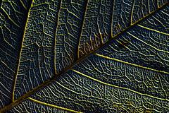 The veins of nature (skybluesky43) Tags: macro foliage folha closeup 2019 august agosto abstract creative abstrato fantastic amazing angle perspective sigma dg 105mm nikon d7100