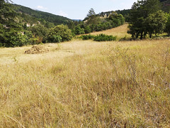 Field with orchid remains, Pebrieres (Niall Corbet) Tags: france occitanie languedoc aude pebrieres field scything scythe cut