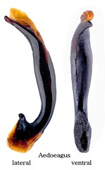Carabus (Orinocarabus) sylvestris nivosus Heer, 1837 Genital (urjsa) Tags: coleoptera käfer beetle insect carabidae carabus sylvestris carabussylvestris austria oesterreich europa europe taxonomy:binomial=carabussylvestris taxonomy:order=coleoptera taxonomy:family=carabidae taxonomy:genus=carabus taxonomy:species=sylvestris geo:country=austria coleopteraus orinocarabus kaefer insekt nivosus taxonomytrinomialcarabussylvestrisnivosus genital aedoeagus