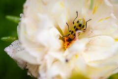 IMG_2371-1 (ljohn50014) Tags: 2019 bees borage flowers garden