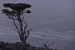 Lone Cypress | California Coastline | ACT8327 (TariqhCN) Tags: cypress tree california coastline nature pacific ocean water outdoors hills fog nikon d810 dslr seascape waves