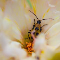 IMG_2367-1 (ljohn50014) Tags: 2019 bees borage flowers garden