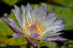 Spring (Les Greenwood Photography) Tags: flower lily garden rain water purple forida
