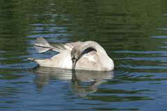 Clissold Park (Loz Flowers) Tags: london stokenewington hackney clissoldpark londonparks swans