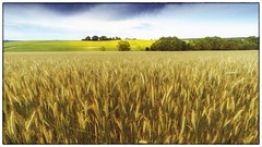 The Cornfield by day (HeiJoWa) Tags: sony alpha6000 6000 a6000 samyang samyang12mmf20 nature landscape landschaft natur getreide gerste corn wheat herrnergal germany deutschland rappweiler weierweiler saarland weitwinkel 169 himmel sky sunny sonnig
