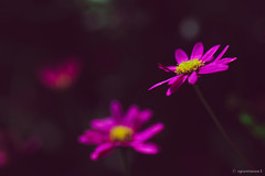 Violet Flowers (spastman1) Tags: flower flowers nature outside summer summertime sunshine violet samsung nx nx1