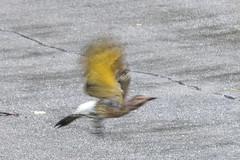 EAE_7618r (crobart) Tags: flicker bird richmond hill