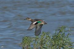 Teal - Marrequinha (anpena) Tags: birds birdphotography birdsinflight ducks dabblingducks teal